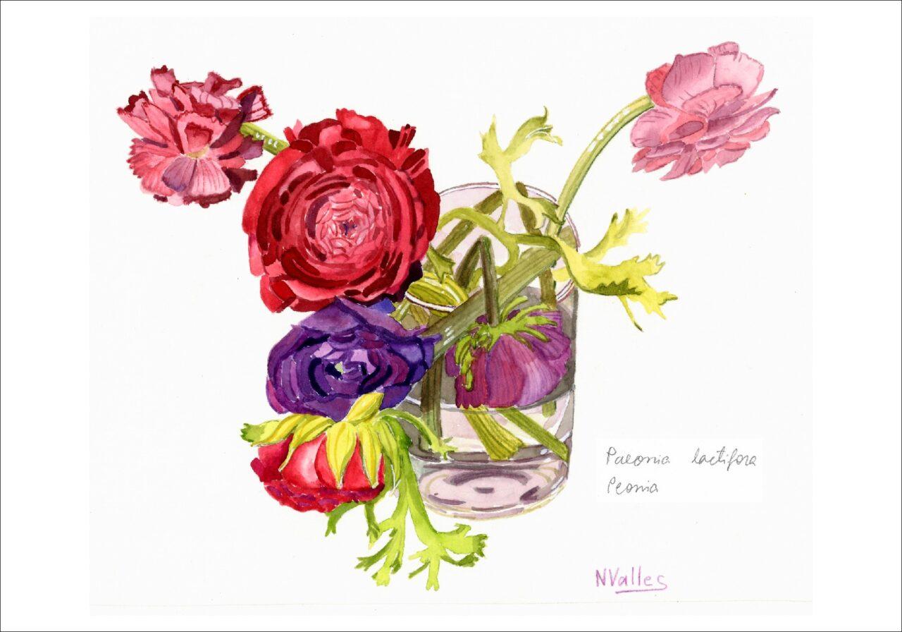 Paeonia lactifora Peònea - Peónea - Peony