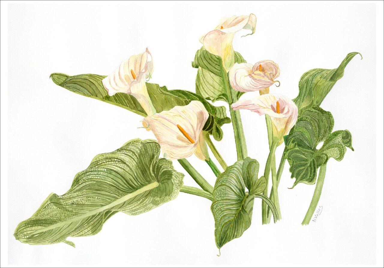 Zantedeschia aethiopica Lliris d'aigua - Calas - Calla lily