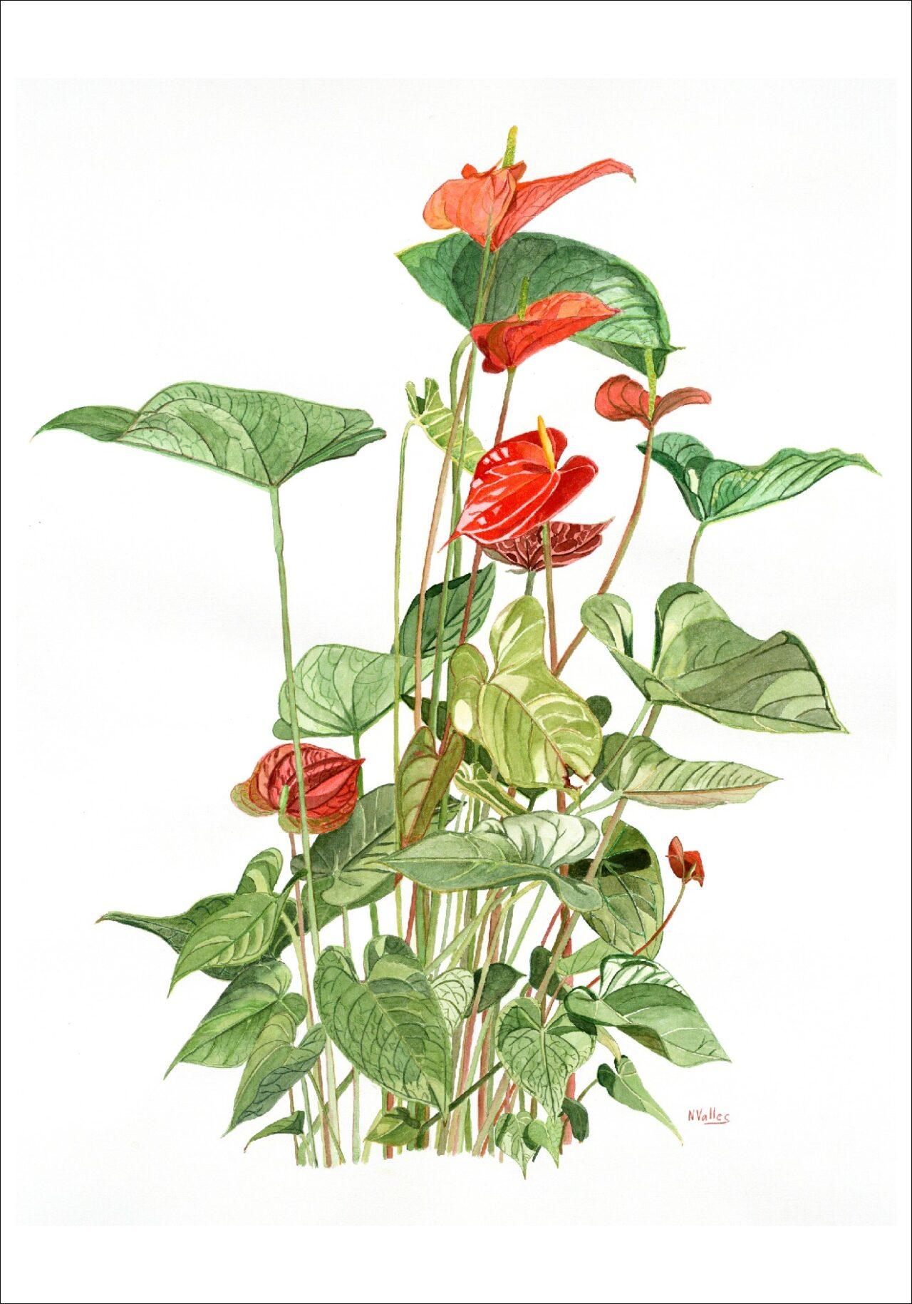 Schezerianum Anturi - Anturio - Anthurium