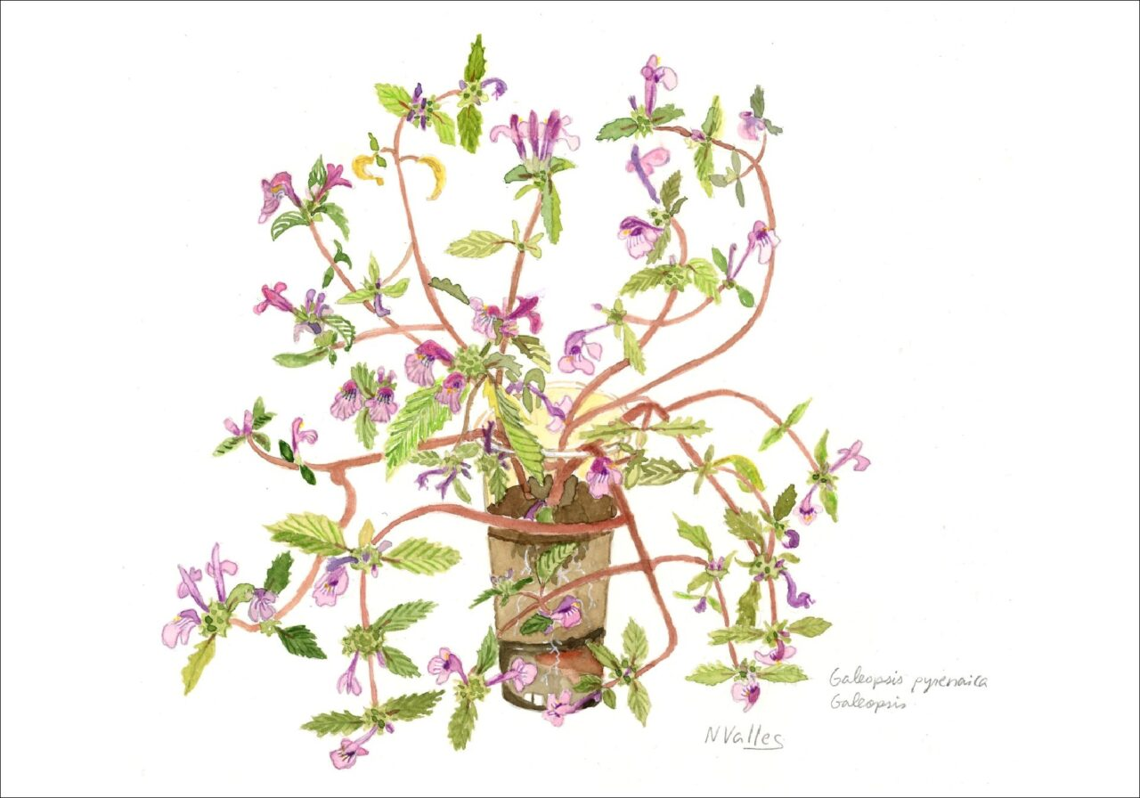Galeopsis pyrenaica Galeopsis
