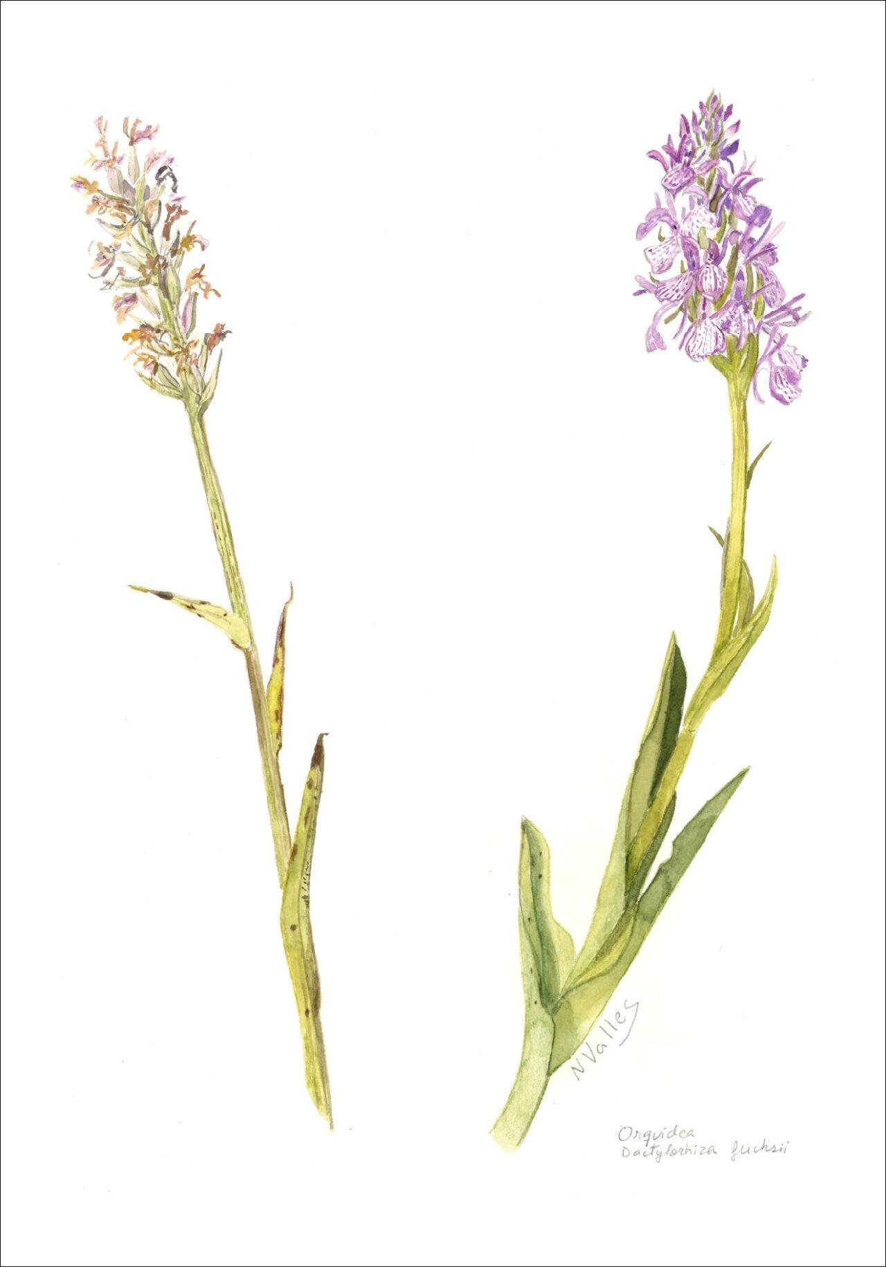 Dactylorniza fuchsii Orquídea de muntanya - Orquidea de montana - Common spotted orquid