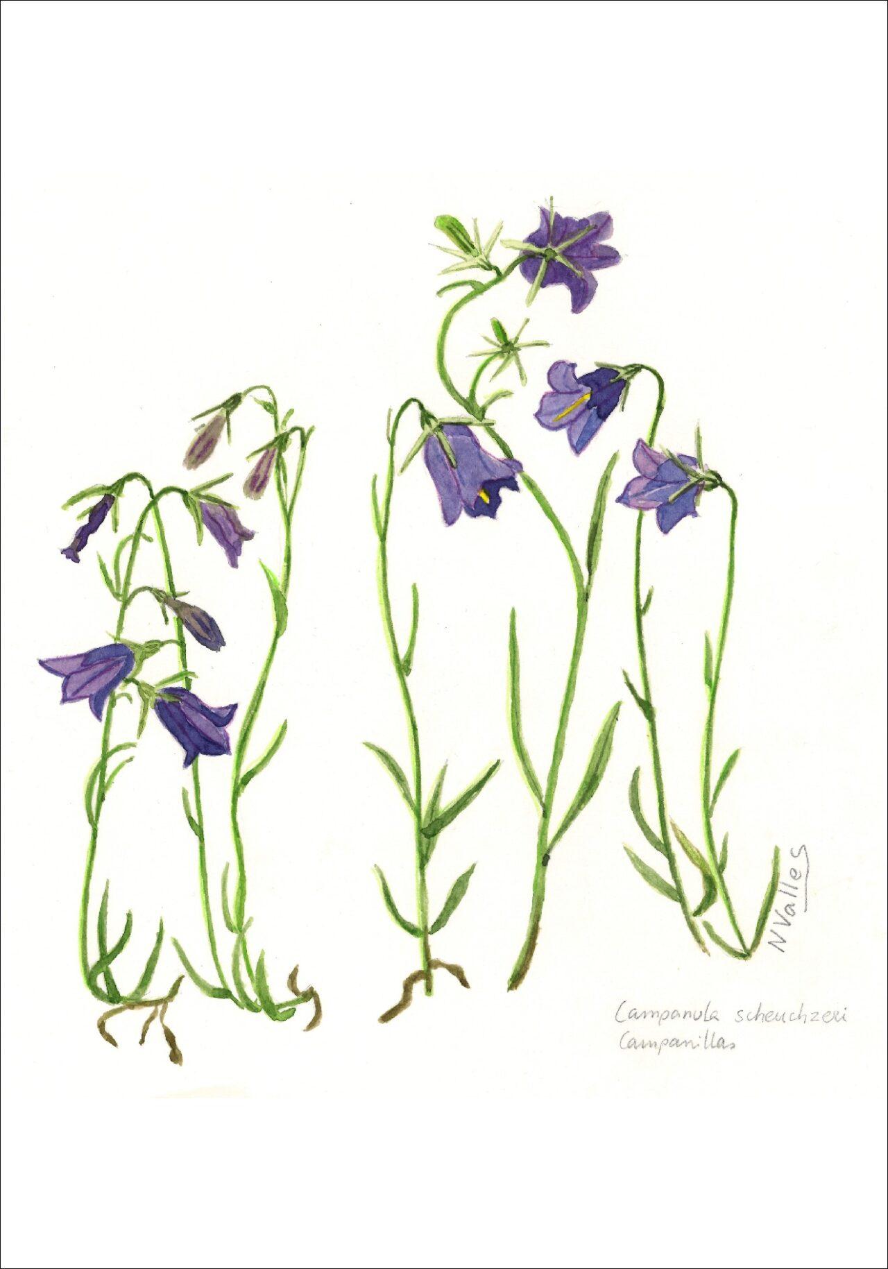 Campanula scheuchzeri Campanetes - Campanillas - Bellflower