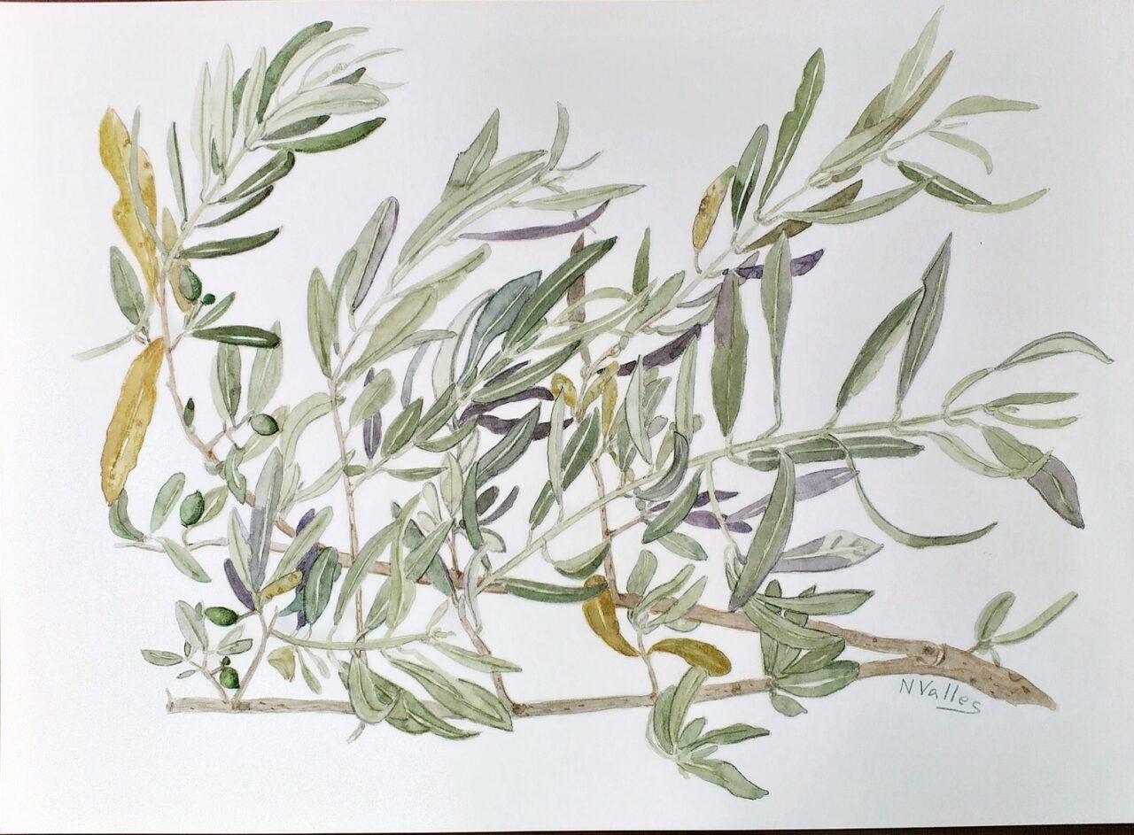 Olea europaea Olivera - Olivo - Olive tree