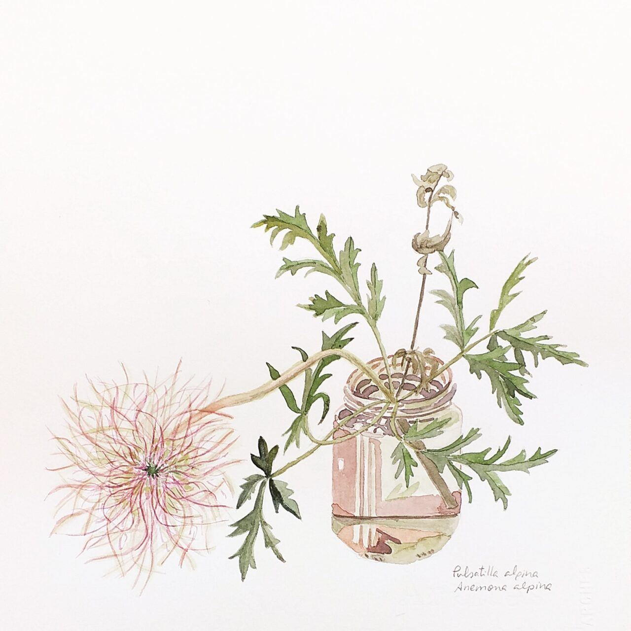 Pulsatilla alpina Anemone alpina - Anémona silvestre - Alpine anemone