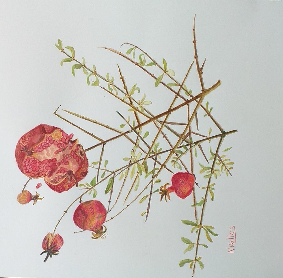 Púnica granatum Magraner - Granado - Pomegranate tree