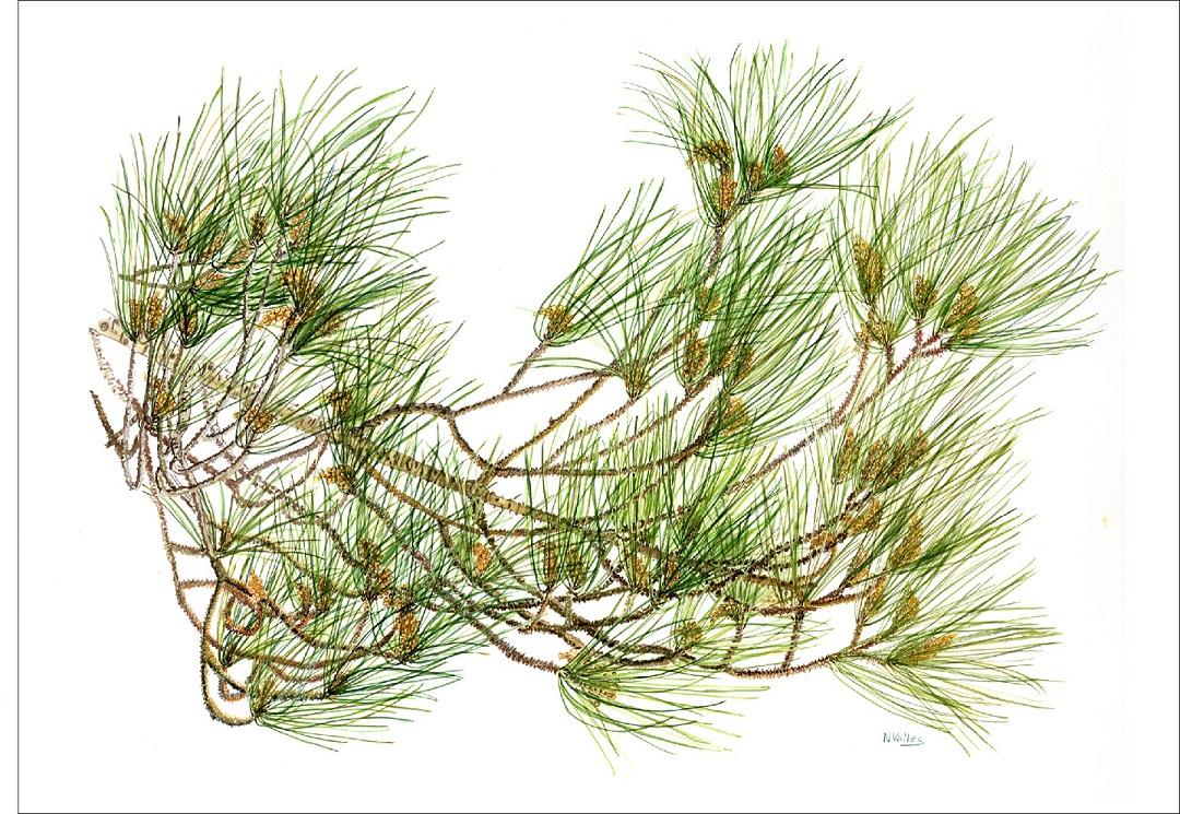 Pinus halopensis Pi mediterrani - Pino mediterraneo - Stone pine