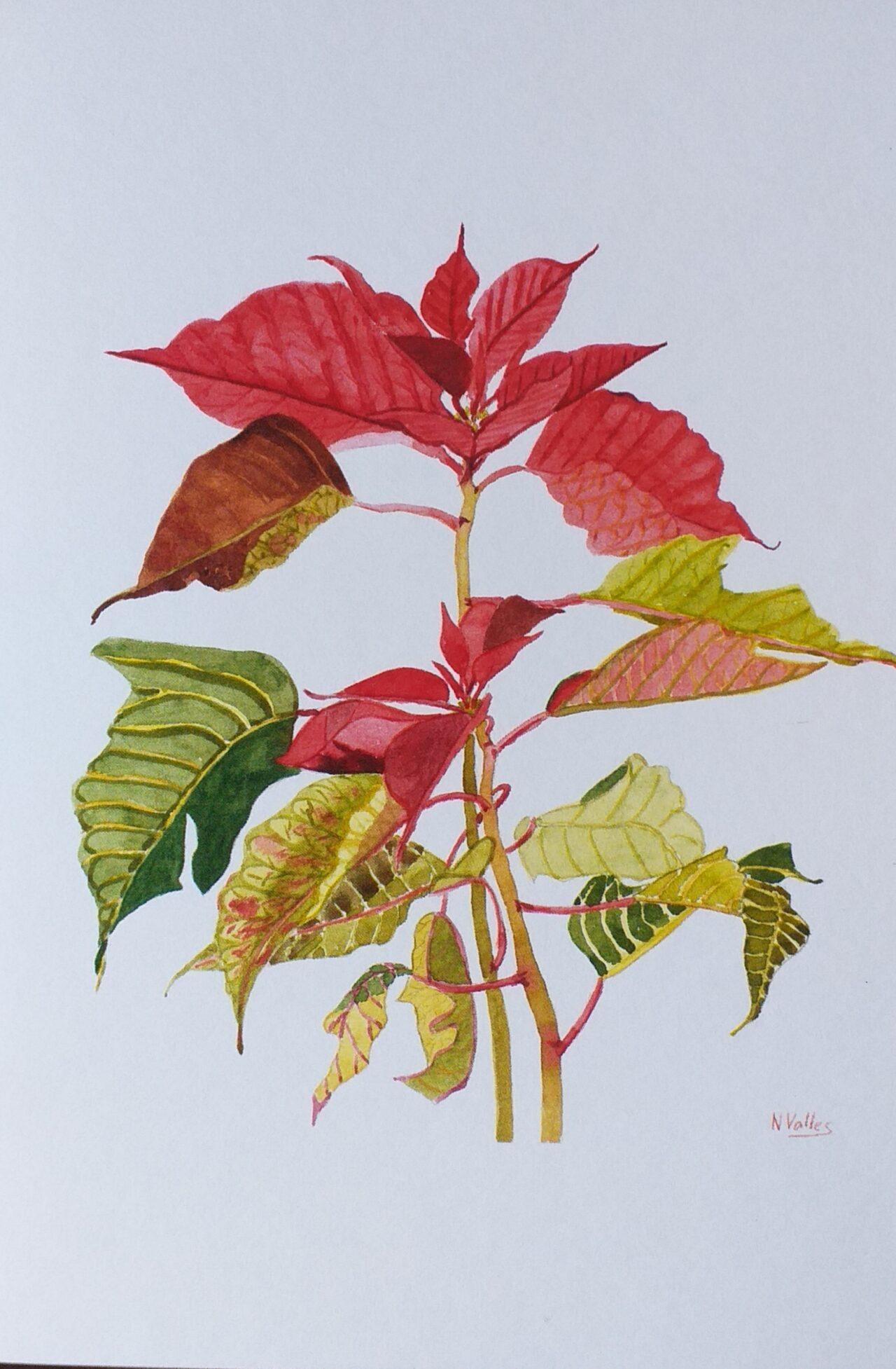Euphorbia pulcherrima Poinsettia