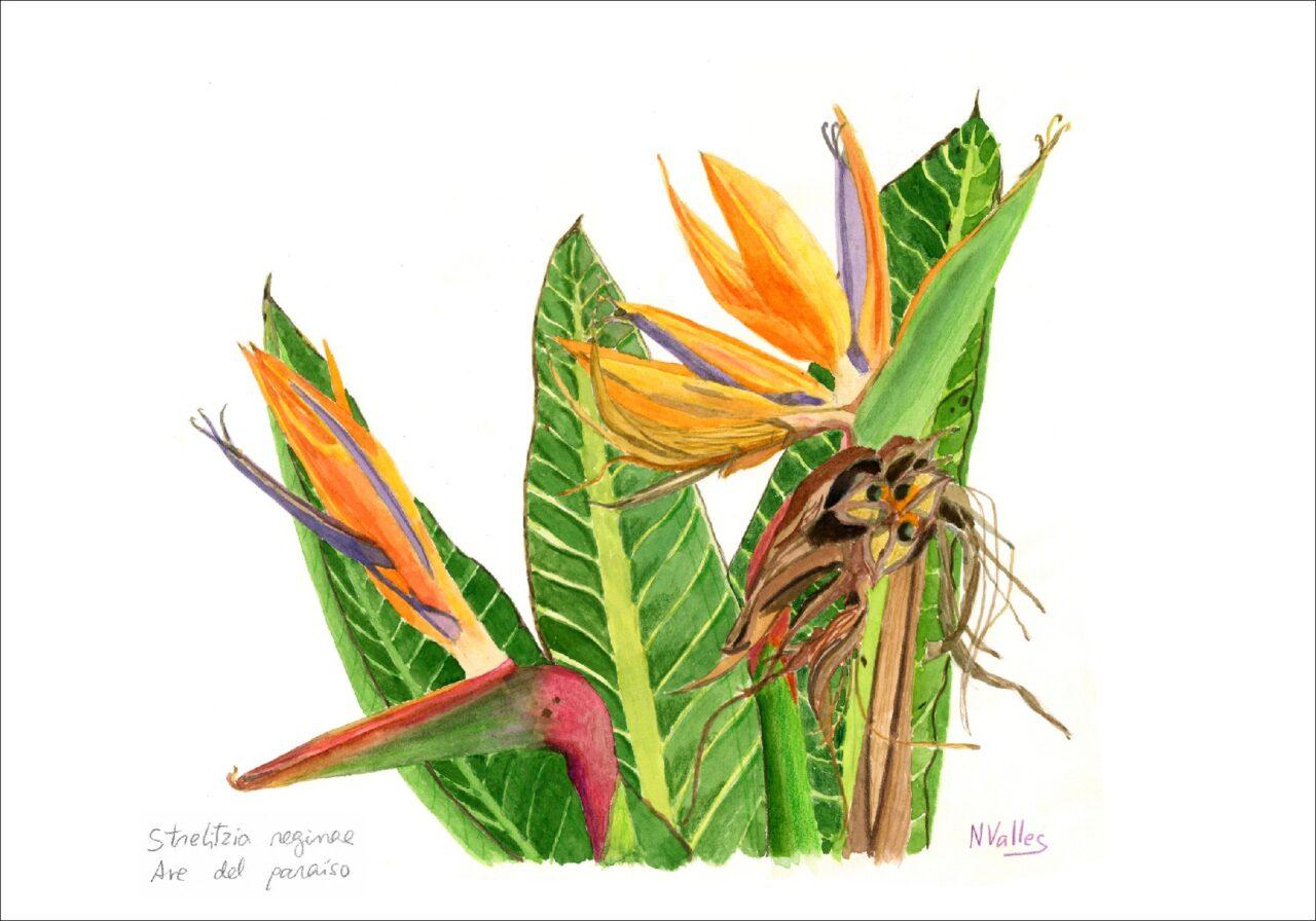 Strelitzia reginae Au del paradís - Ave del paraíso - Bird from paradise